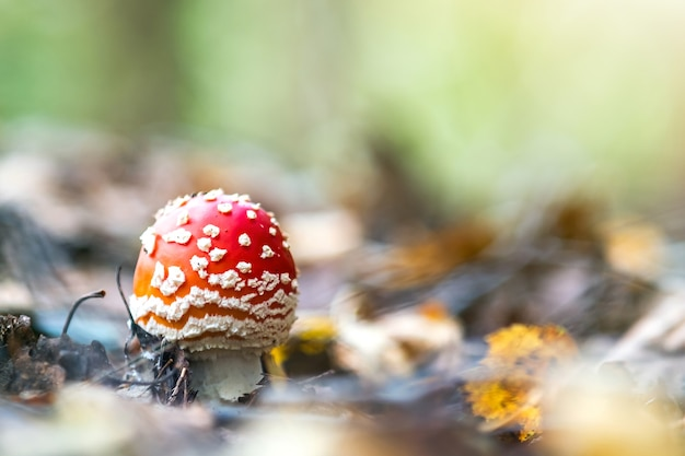 Cogumelo venenoso de agaric mosca vermelha crescendo na floresta de outono.
