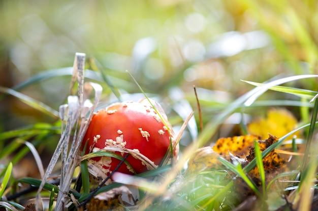 Cogumelo venenoso do fungo agárico-mosca vermelha crescendo na floresta de outono.