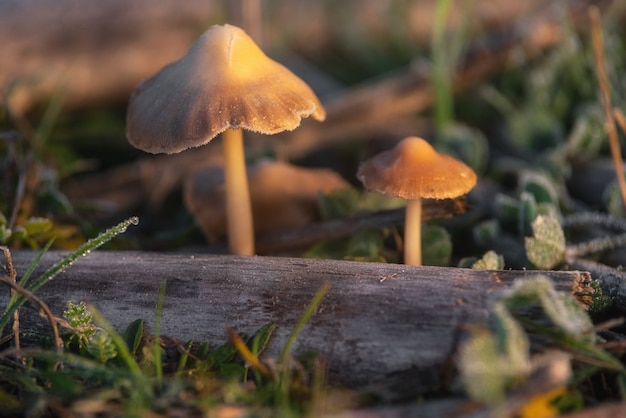 Cogumelos alucinógenos liberty cap ou psilocybe semilanceata na grama verde