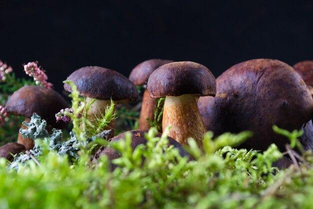 Cogumelos boletos na superfície de madeira escura com musgo, urze