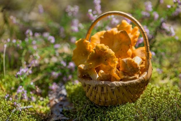 Cogumelos chanterelle em uma cesta de vime no sol em uma clareira da floresta
