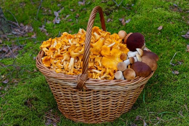 Cogumelos chanterelle recém-colhidos e cogumelos brancos em uma cesta de vime em uma clareira na floresta