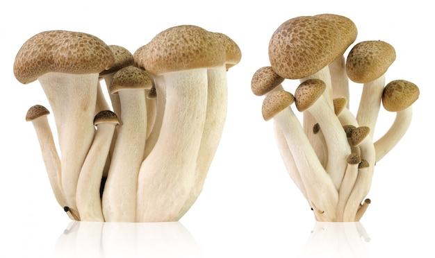 Cogumelos de faia marrom, cogumelo shimeji, cogumelo comestível