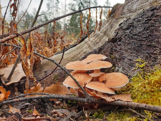 Cogumelos de floresta outono cogumelos crescem em um toco
