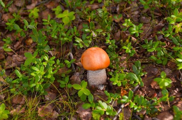 Cogumelos do álamo tremedor dos cogumelos na floresta da tundra do outono.