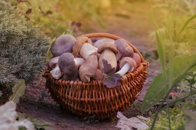 Cogumelos em uma cesta. boleto de cape marrom colheita e floresta de outono