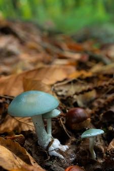 Cogumelos em uma floresta de castanheiros.