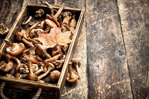 Cogumelos frescos com mel agaric em uma caixa velha