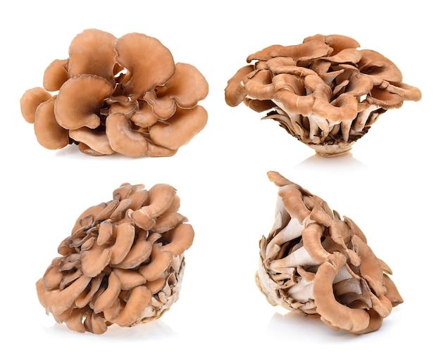 Cogumelos maitake em fundo branco