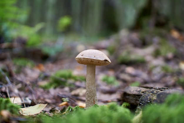 Cogumelos na floresta de outono crescendo em musgo
