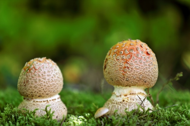 Cogumelos na grama