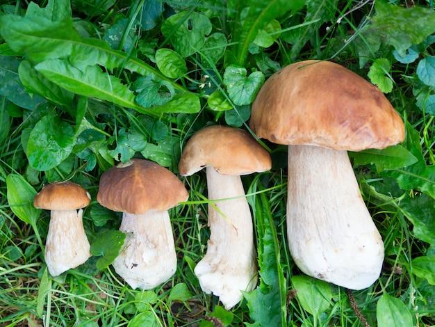 Cogumelos pequenos a grandes