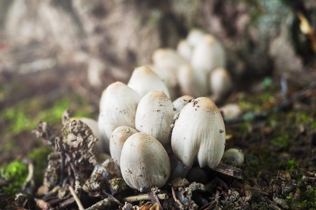 Cogumelos são venenosos em face da chuva