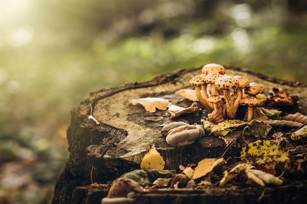 Cogumelos venenosos bonitos em um toco na floresta de outono