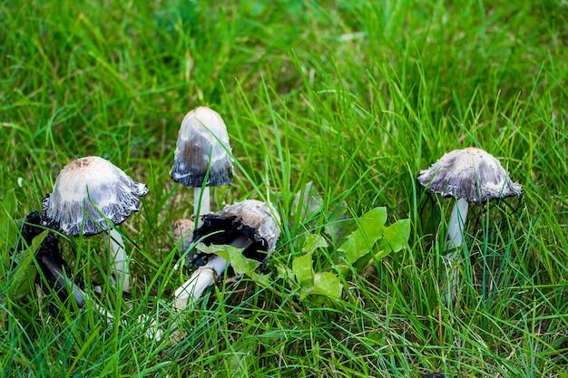 Cogumelos venenosos pálidos cogumelo na grama verde.