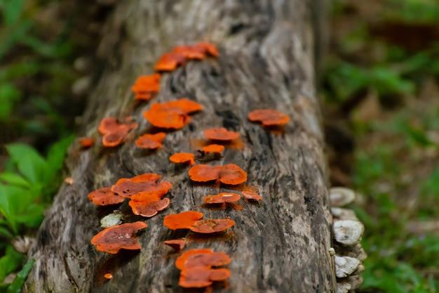 Cogumelos vermelhos da floresta na grama. recolha de cogumelos.
