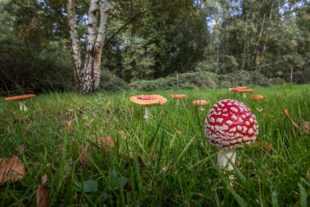 Cogumelos vermelhos na natureza (amanita muscaria)