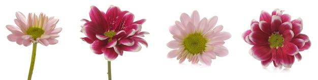 Colagem de diferentes flores de crisântemo. flores de outono. em fundo branco isolado
