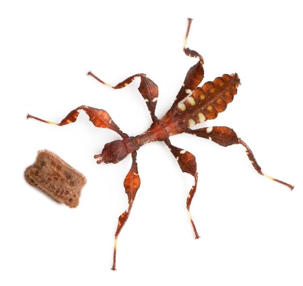 Cole o inseto, o bebê phyllium westwoodii e seu ovo na frente do fundo branco