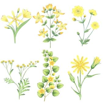 Coleção aquarela de flores amarelas e ervas.