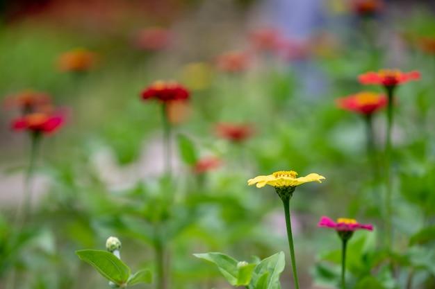 Coleção da flor colorida do verão que contem vermelho, amarelo, roxo e branco.