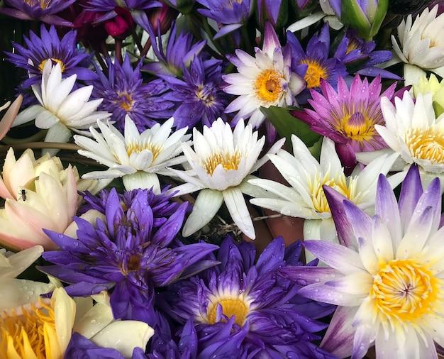 Coleção de flores de lótus coloridas