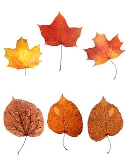 Coleção de folhas de outono isoladas em fundo branco