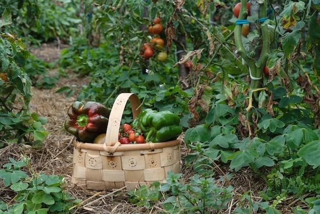 Coleção de pimentos na cesta de madeira.