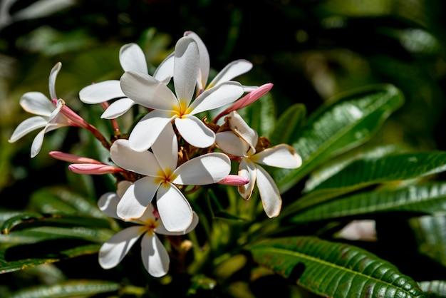 Coleção de plumeria branca floresce com folhagem verde em uma planta