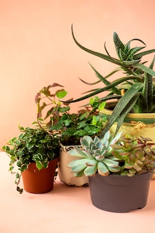 Coleção de tendências de várias plantas de interior e fundo rosa suculentas.