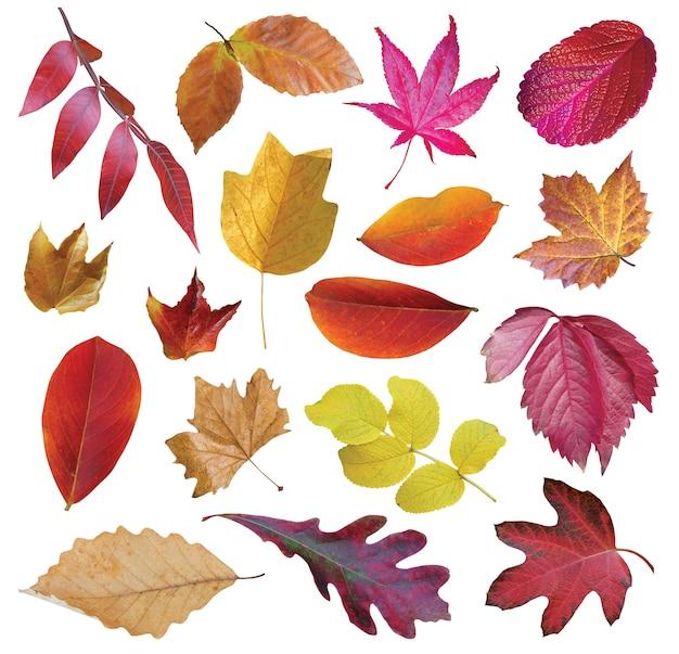 Coleção lindas folhas coloridas de outono isoladas no fundo branco