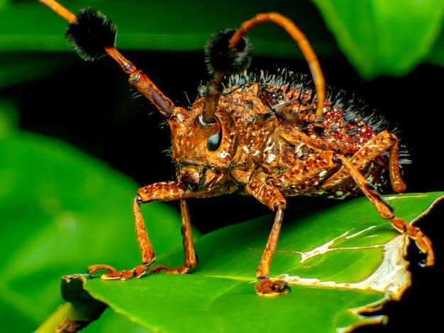 Coleoptera-cerambycidae é uma planta da cana-de-açúcar. o verme de coleoptera-cerambycidae está no solo
