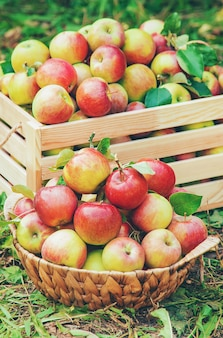 Colha maçãs em uma caixa em uma árvore no jardim. foco seletivo.