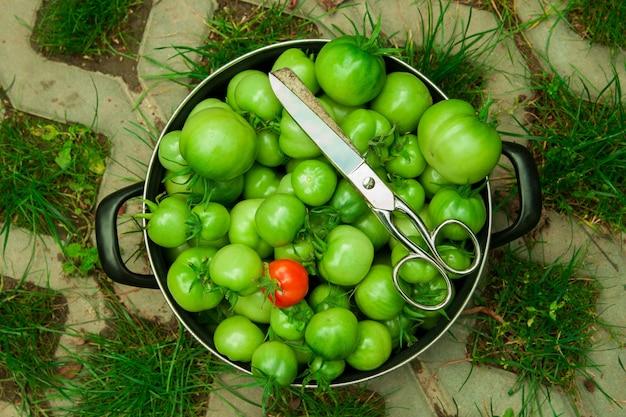 Colha tomates verdes no chão em uma panela