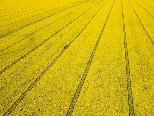 Colheita amarela colorida de canola, colza ou estupro, vista de cima, mostrando trilhas paralelas pelo campo. foto aérea