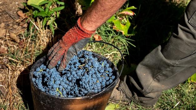 Colheita da uva na vinha do douro