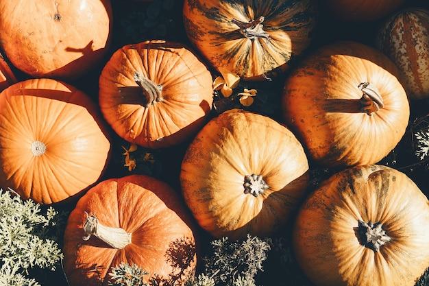 Colheita de abóboras no outono fundo de diferentes variedades de abóboras de inverno