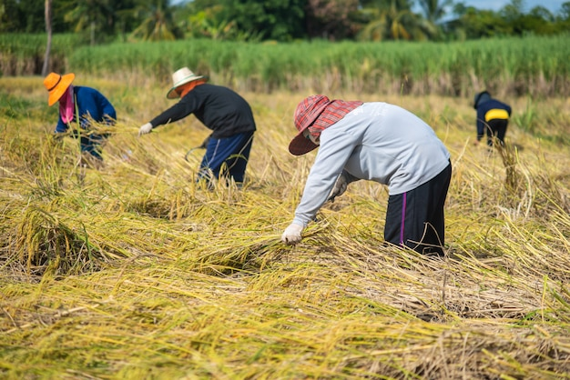 Colheita de agricultor na época de colheita.