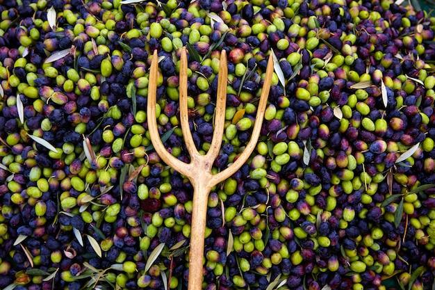Colheita de azeitonas com garfo líquido e de madeira