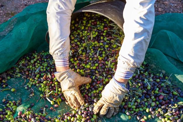 Colheita de azeitonas, escolhendo as mãos no mediterrâneo