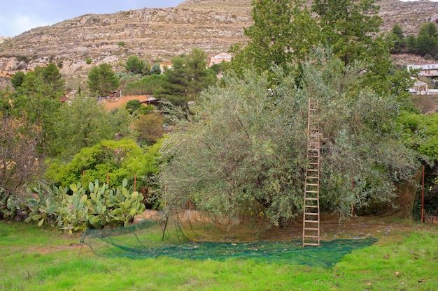 Colheita de azeitonas