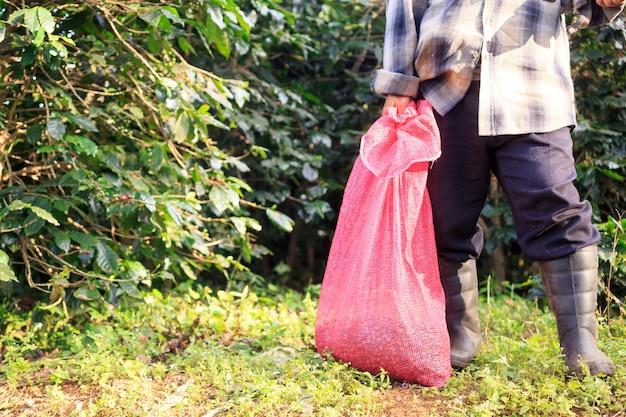 Colheita de bagas de café arábica com mão de agricultor