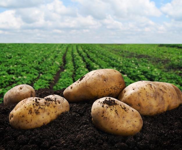 Colheita de batatas no chão
