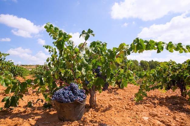 Colheita de bobal com colheita de uvas para vinho