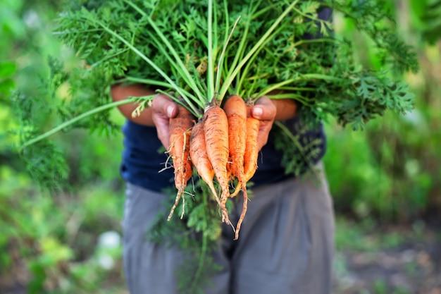 Colheita de cenoura nas mãos da mulher agricultora