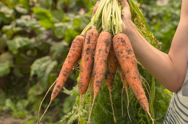 Colheita de cenouras doces nas mãos de um fazendeiro