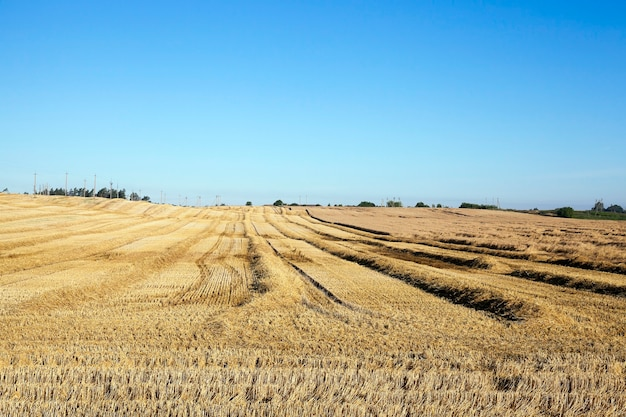Colheita de cereais, verão - campo agrícola onde é realizada a colheita de cereais, bielo-rússia, verão