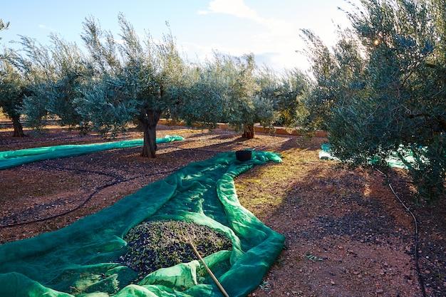 Colheita de colheita de azeitonas com rede no mediterrâneo