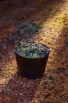 Colheita de colheita de azeitonas na cesta do agricultor
