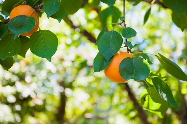 Colheita de damascos maduros em uma folhas verdes